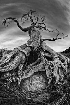 006 - Limber Pine